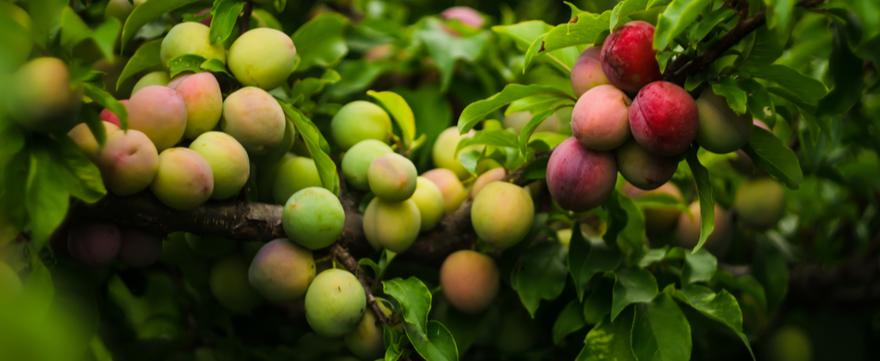 Fruitboom kopen | bijSTOX