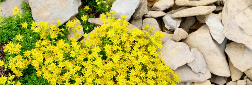 Gele muurpeper kopen | bijStox