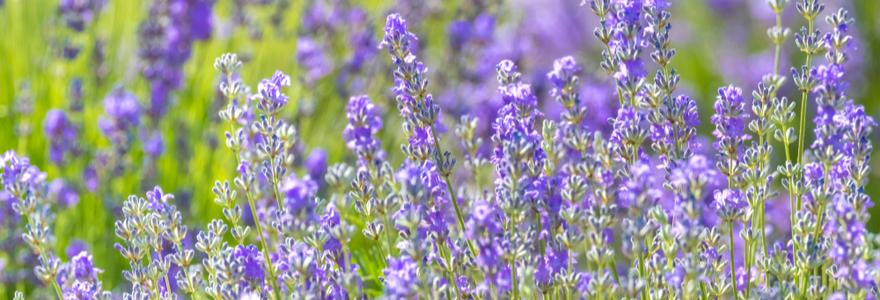 Lavendel kopen | bijSTOX