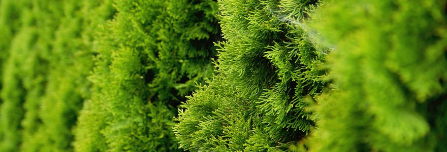 Levensboom Smaragd kopen | bijSTOX